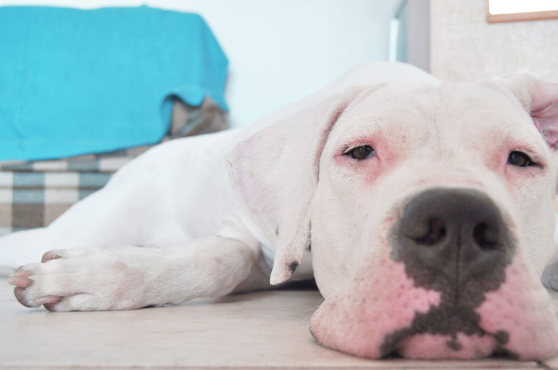 Dogo Argentino Dogoftheday White Dog Dog Dogs Dogslife Argentinian Dog Pure Bred Hunting Breed Sleepy Dog Lazy Dog Close-up Purebred Dog Pampered Pets Nose Canine At Home Animal Face