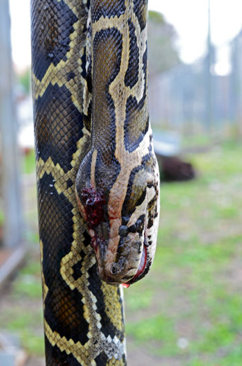 Burmese python killed by contractor hired by the state of Florida, which wants to kill the invasive snakes that are decimating native wildlife in the Everglades. Animal Markings Close-up Dead Animal Focus On Foreground Hunter Hunting No People One Animal Outdoors People Predator Reptile Snake