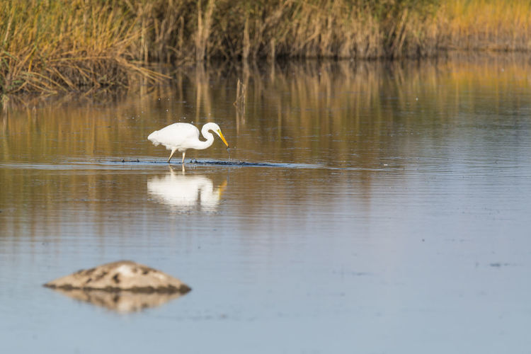 Great egret with reflection in river