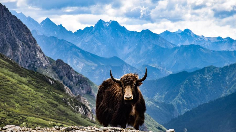 Portrait of animal standing against mountains