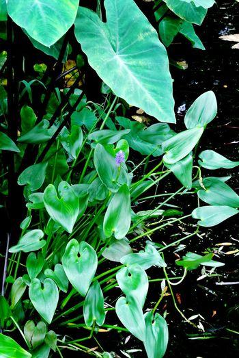 梭鱼草 Plant Flor Flower Nature Lover Beautiful Cute Mini Green Green Lovers