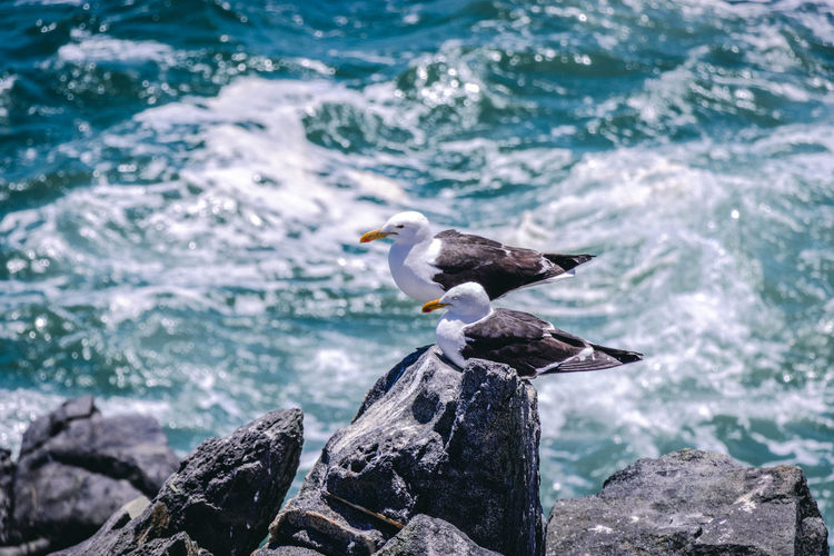 Seagull perching on rock in sea