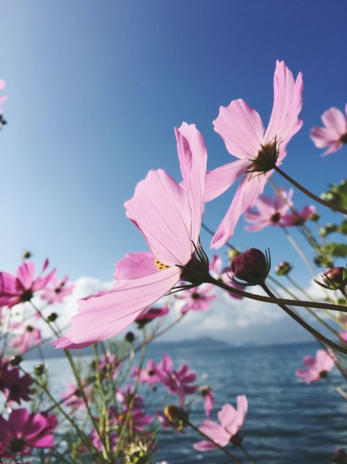 Flower Freshness Fragility Beauty In Nature Nature Pink Color Growth Petal Flower Head Close-up Sky Blooming No People Outdoors Springtime Day Plant