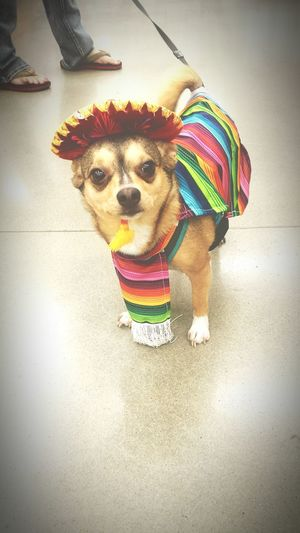 Happy Halloween Chihuahua Chihuahuasofinstagram Chihuahua Love ♥ Chihuahualove Chihuahuaworld Chihuahuaoftheday Chihuahuastyle Chihuahuapower Chihuahuasarespecial Halloween Costumes Mariachis Mexicanos Petco Costume Contest 2016