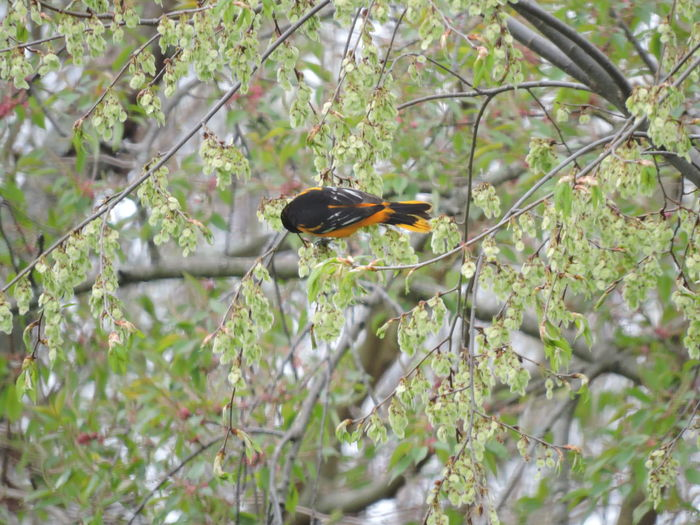 Baltimore Oriole Animal Wildlife Animal Themes Animals In The Wild Animal One Animal Bird Plant Vertebrate Tree Branch No People Perching Nature Invertebrate Day Insect Growth Selective Focus Beauty In Nature Outdoors