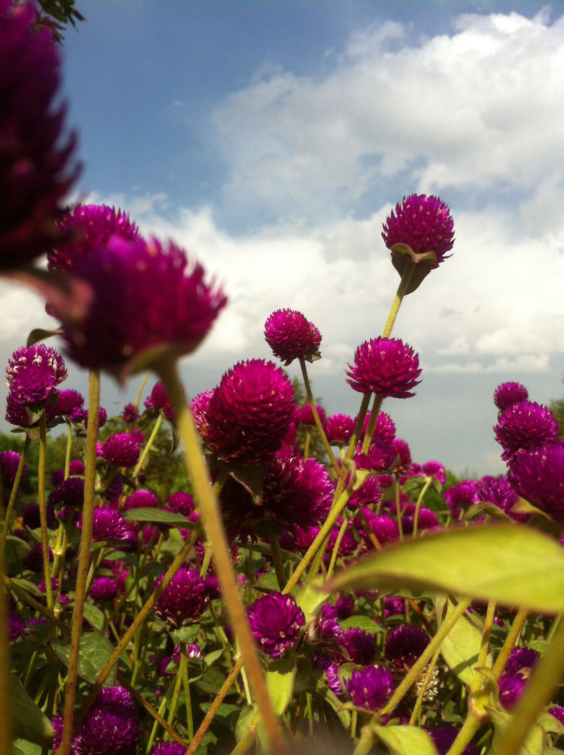 flower, freshness, fragility, growth, petal, flower head, beauty in nature, pink color, plant, blooming, nature, sky, purple, stem, focus on foreground, close-up, in bloom, cloud - sky, day, outdoors