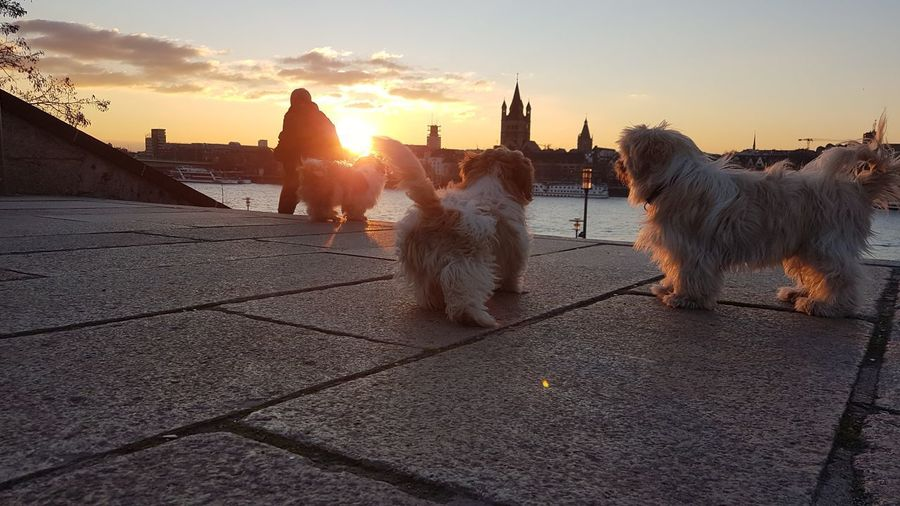 View of dog standing in city during sunset