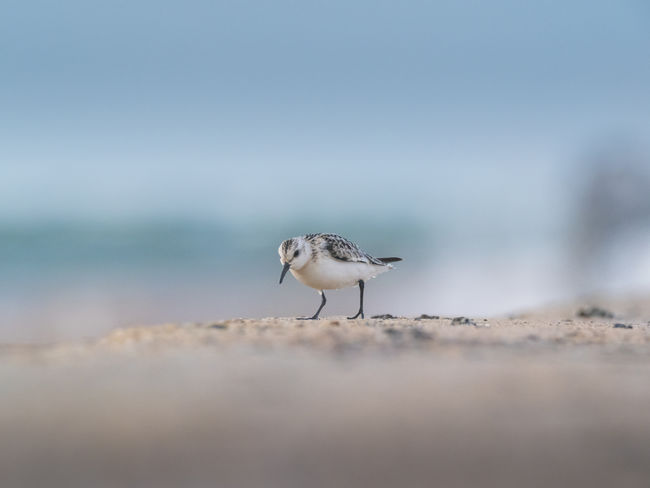 Helgoland Bird Birding Sanderling Animal Animal Themes Animal Wildlife Animals In The Wild Vertebrate One Animal No People Selective Focus Nature Day Copy Space Land Full Length Sea Beach Side View Outdoors Water Sky Seagull