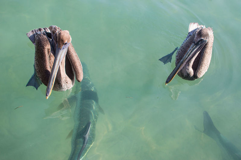 High angle view of pelican and fish swimming in sea