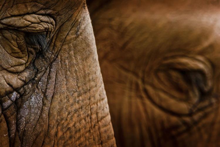 Close-up of two elephants side profile of eye