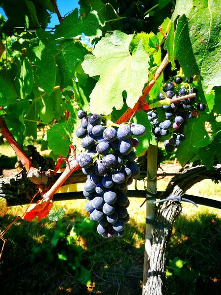 Harvest time in Tuscany Vineyards  Grape Goodwine Countryside Country Life Stopped For A Shot