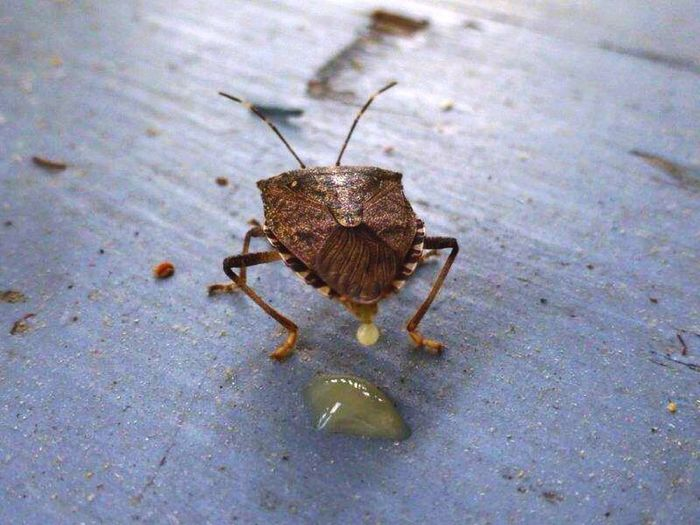 Sorry, couldn't help but post this, gross as it is... 😜 It would appear that I startled this stinkbug?? Talk about timing... 😱 Insects  Stinkbug Macro Macro_collection Insect Paparazzi Nature in action! Bugs Macro Photography EyeEm Nature Lover Macro Nature