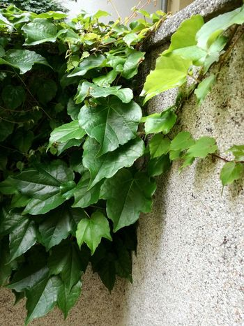 Wall With Leaves Wall Decor Wild Wine Wine Leaves Fresh Green Leaves Growing Growing Plants Leaf Close-up Plant Green Color Leaf Vein Leaves Growing Textured  Natural Pattern Plant Life