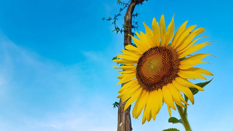sun flower Tree