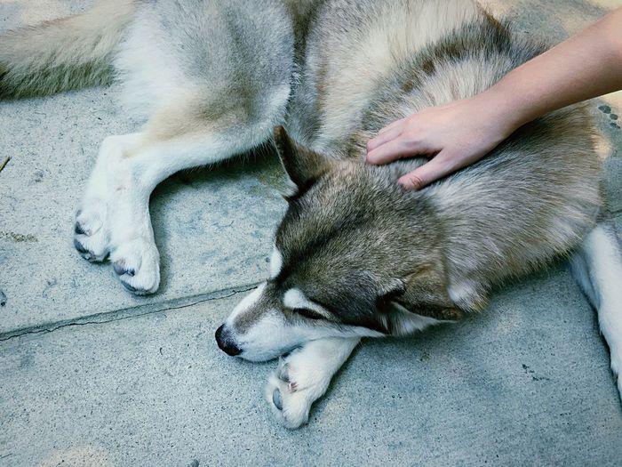 Well hello beautiful! Siberian Husky Husky Dog Pets Pet The Places I've Been Today