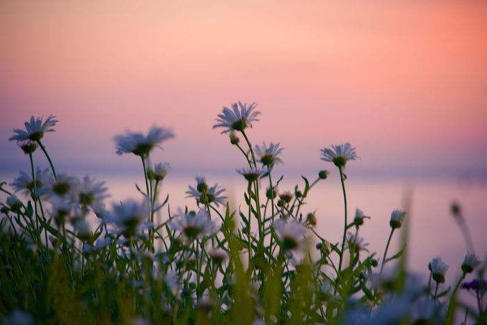 Brittany Marguerite Flower Pink Sky At Night Sea And Sky Sunset_collection Water 43 Golden Moments Fine Art Photography Colour Of Life