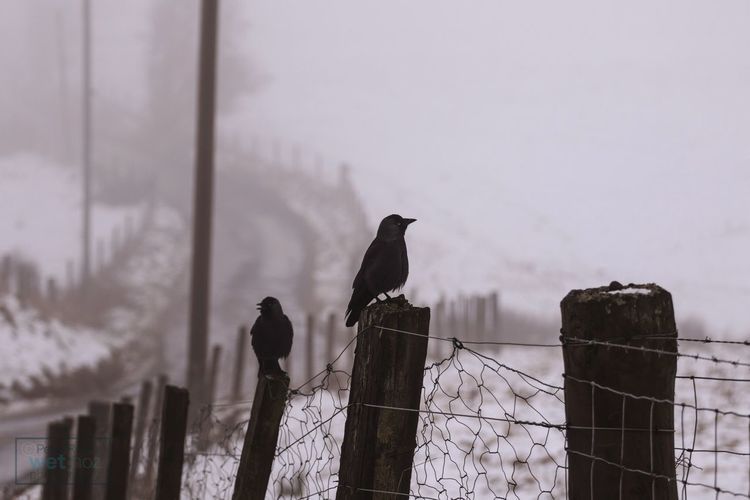 Ravens Perching On Wooden Posts