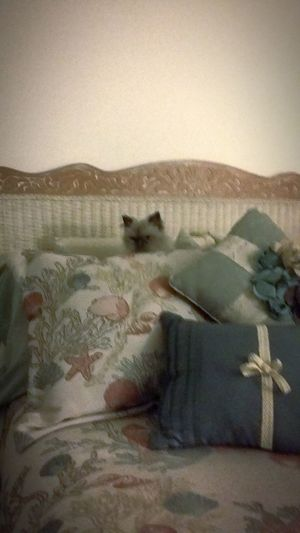 Pillow Boy Hiding Out Himalayan Himalayan Cat Cat On Bed EyEmNewHere Cat Cat In Bed Cat In Pillows Hi!