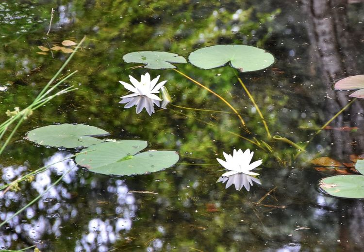 ... / Kromlau (Germany) Germany Kromlau Water Reflections Naturelovers Nature Springtime Landscape Nature Simple Beauty Flowers Flower Water Lily Pad Flower Head Leaf Floating On Water Water Lily Reflection Pond Close-up Lily Blossom Botany Plant Life Focus