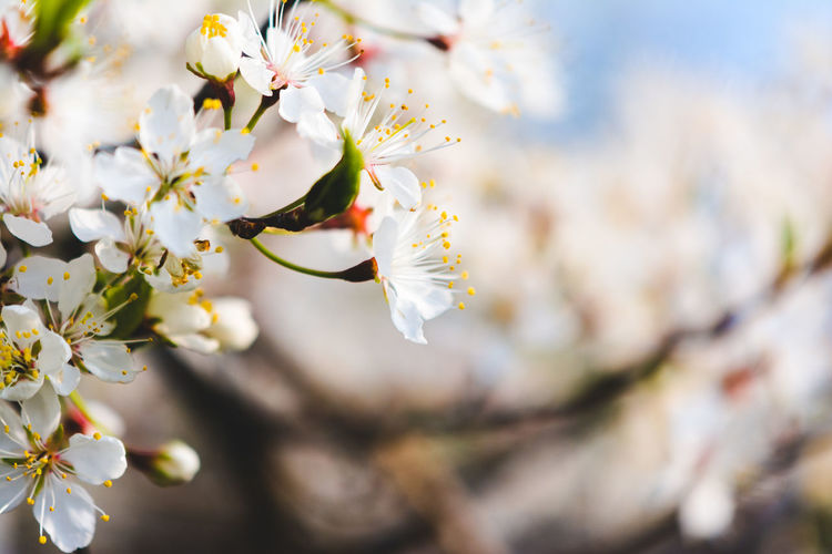 Flowers White Flower Plant Flowering Plant Beauty In Nature Growth Freshness Fragility Vulnerability  Close-up Springtime Tree Branch Blossom Focus On Foreground Day White Color Petal No People Selective Focus Nature Flower Head Cherry Blossom Pollen Outdoors Cherry Tree Spring Blooming Blomming Tree White Flower Nature