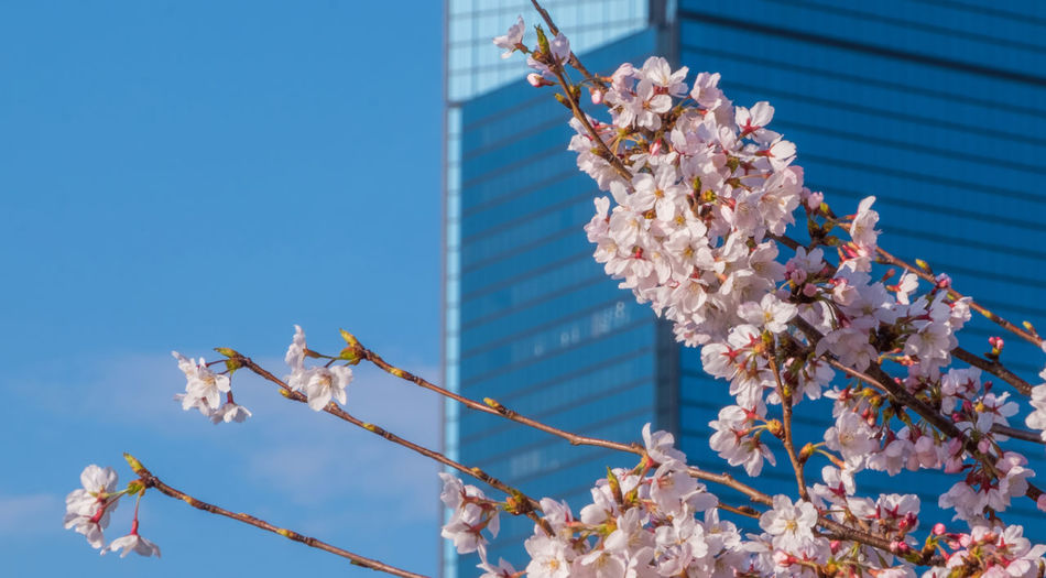 Modern buidling and cherry blossom Cherry Japan OSAKA Beauty In Nature Building Building Exterior Built Structure Cherry Blossom Day Flower Flower Head Flowering Plant Fragility Freshness Growth Low Angle View Nature No People Outdoors Sky