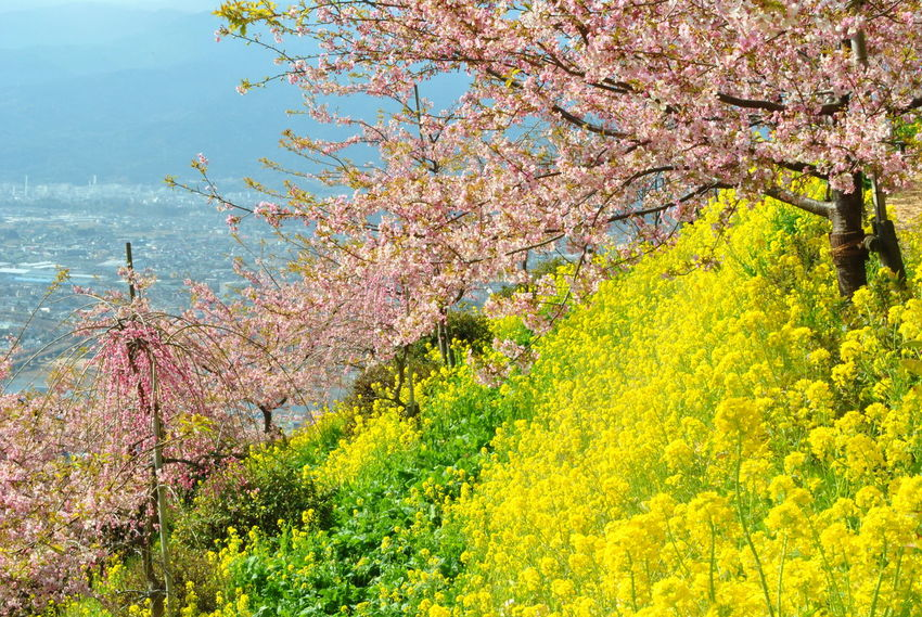 Beauty In Nature Branch Change Cherryblossom Day Flower Growth Multi Colored Nature No People Outdoors Plant Pulm Tree Sky Spring Tranquil Scene Tranquility Tree Yellow The Great Outdoors - 2017 EyeEm Awards Postcode Postcards