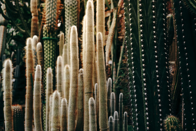 Close-up of cactus plants