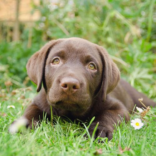 Chocolate labrador lying on grassy field