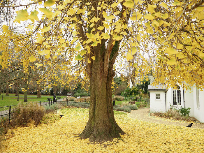 Ginkgo Tree Autumn Ginkgo Ginkgo Biloba Ginkgo Leaves Greenwich Park London Autumn Autumn Collection Beauty In Nature Change England Falling Ginkgo Leaf Ginkgo Tree Growth Leaf Leaves Nature No People Outdoors Plant Tranquility Tree Tree Trunk Yellow