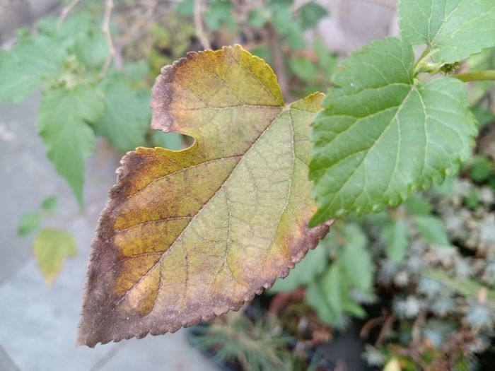 Close-up of maple leaf on tree during autumn