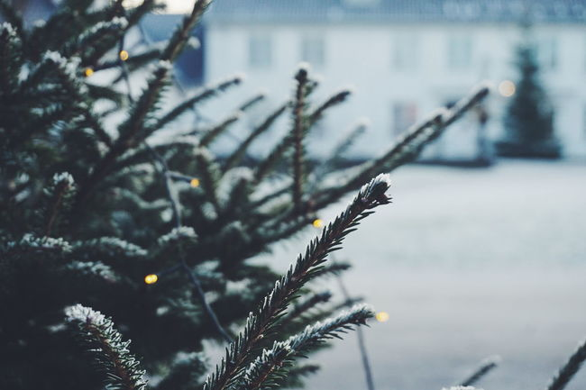 christmas tree Winter Nature No People Cold Temperature Day Outdoors Growth Snow Beauty In Nature Close-up Defocused Freshness Tree Christmas Tree Bokeh Light Christmas Lights Tradition Christmaslights Christmas Around The World Christmas Decoration Branch Christmas Tree Winter