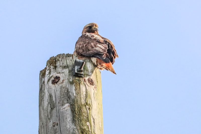 Red Tailed Hawk Sky Clear Sky Low Angle View Bird Vertebrate Animal Copy Space Animal Themes Perching Animals In The Wild Animal Wildlife Nature Day No People Post Outdoors Bird Of Prey