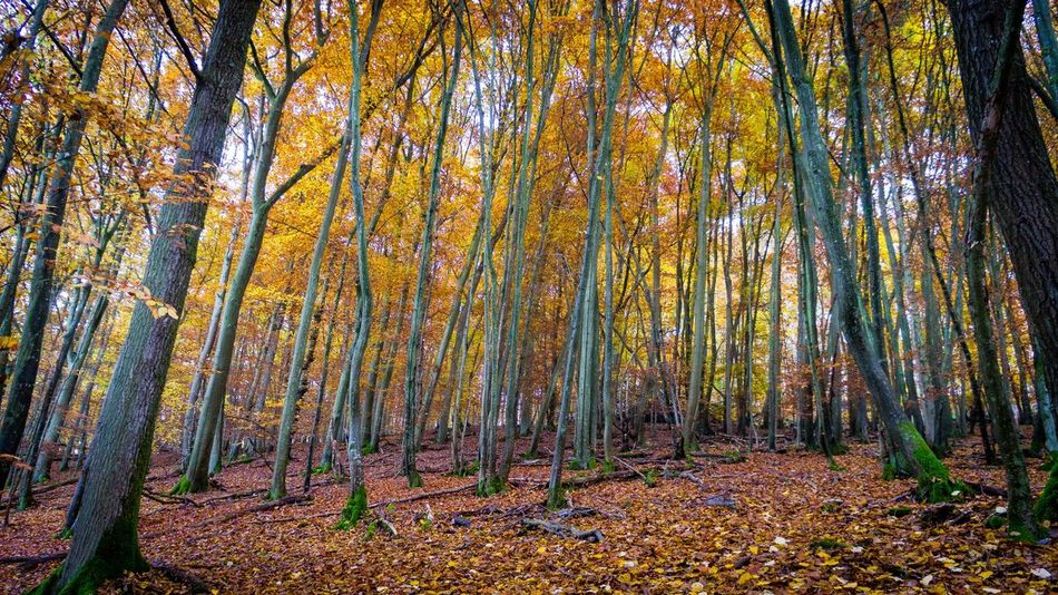 Autumn Colors Fall Beauty Forest Growth Landscape Nature Outdoors Plant Tree Tree Trunk