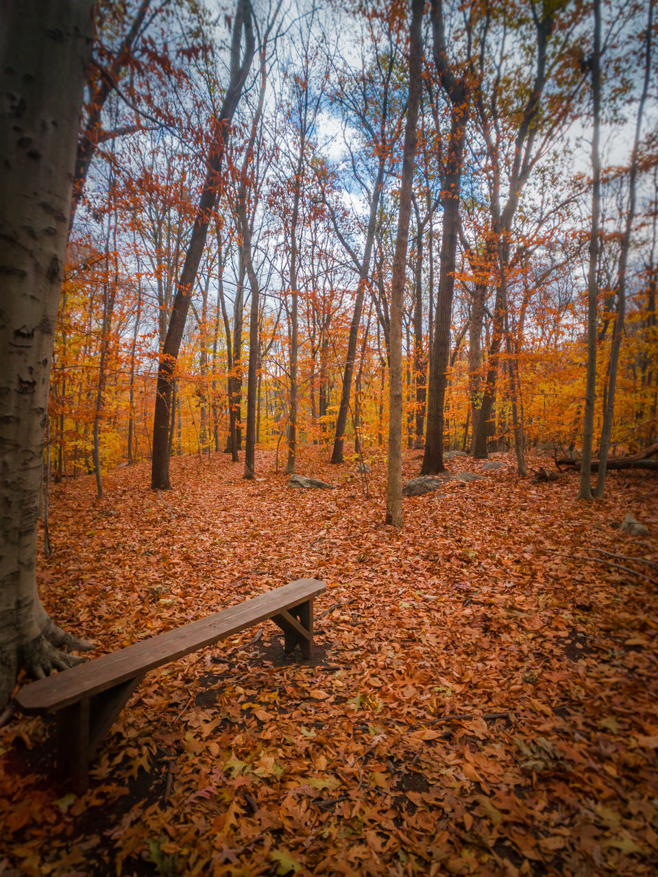 autumn, change, leaf, tree, nature, forest, beauty in nature, scenics, orange color, tranquility, tranquil scene, woodland, dry, day, outdoors, no people, tree trunk, branch, maple