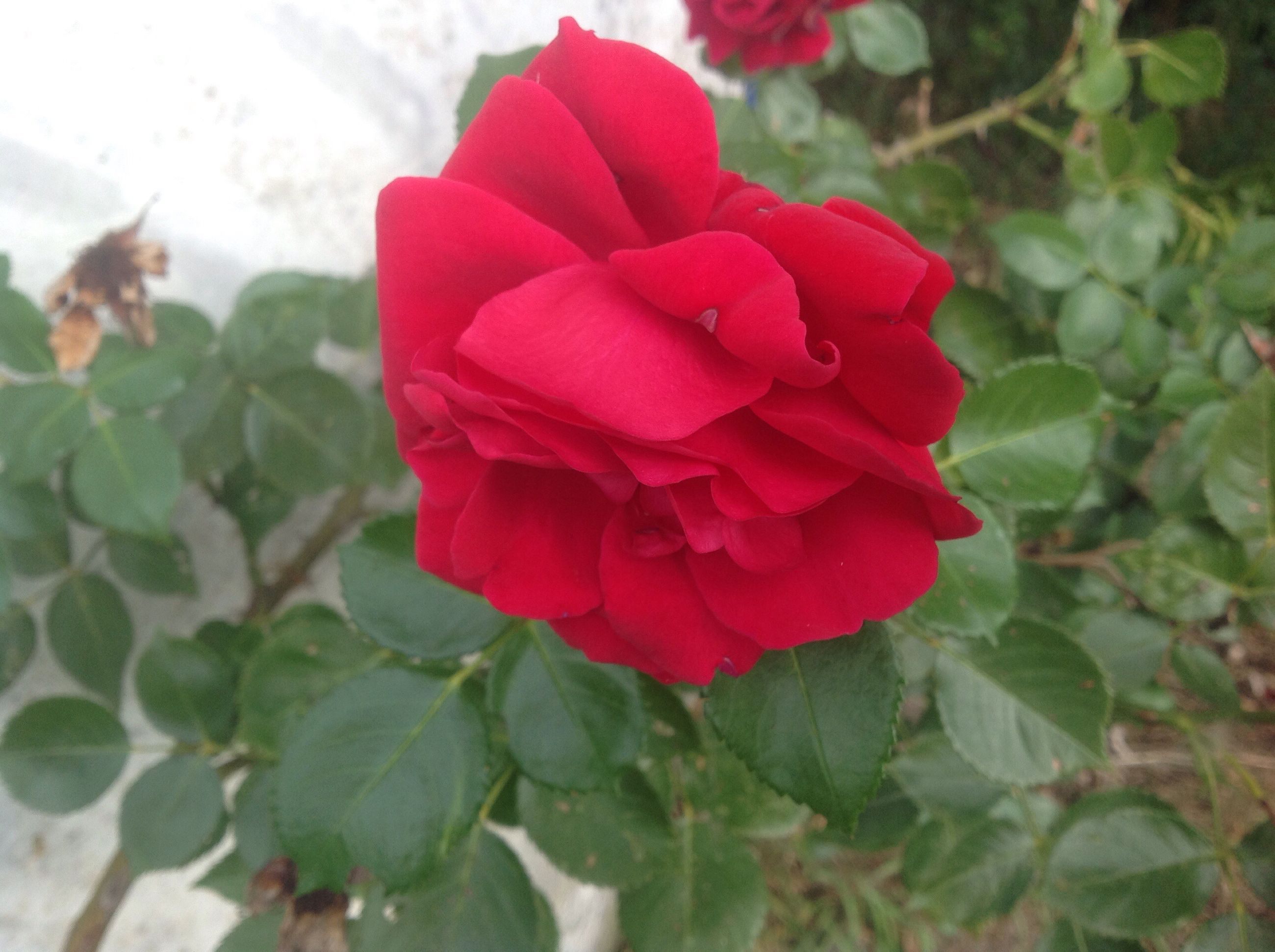 flower, freshness, fragility, petal, flower head, close-up, red, beauty in nature, growth, nature, leaf, season, rose - flower, vibrant color, springtime, plant, in bloom, single flower, selective focus, day, softness, outdoors, blossom, botany, focus on foreground, blooming, soft focus, pink color