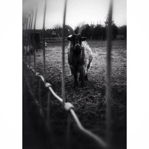 Goat. Goat Animals Animalsofinstagram Goatsofinstagram blackandwhite bnw_nature gloomgrabbercapturingbritain_rural capturingbritain_bnw rural ukpotd bw_nature