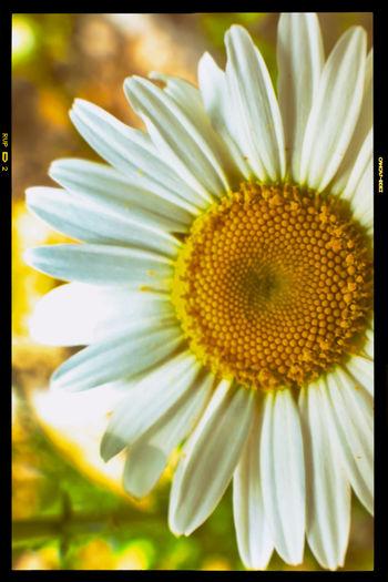 Daisy Flower Petals Pollen Spring Springtime Springtime Flowers Yellow