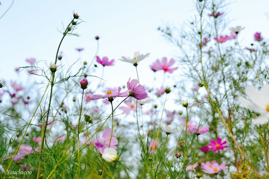 秋の訪れ〜♫ Flowerporn Cosmos Flowers Natural Colours