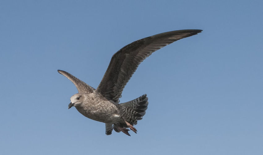 Low Angle View Of Bird Flying Over Blue Sky