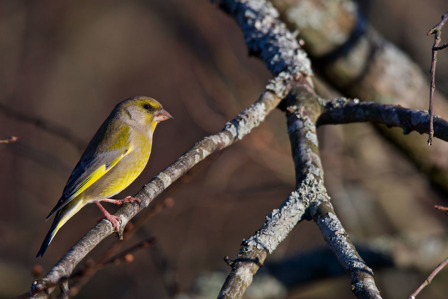 Greenfinch sitting on a branch European Greenfinch Animal Themes Animal Wildlife Animals In The Wild Beauty In Nature Bird Chloris Chloris Close-up Day Focus On Foreground Male Nature No People One Animal Outdoors Perching
