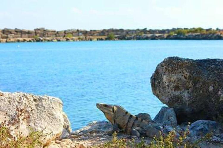 Iguana on sea