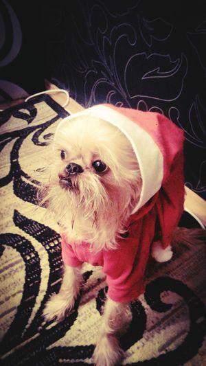 MerryChristmas Happynewyear Christmasgnome Gnome Littlegnome Brusselsgriffon Griffons Brussels Griffon Mydog Livemydog Thedog Chips
