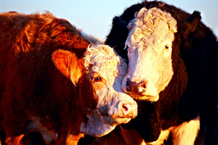Sunlight Affection Animal Animal Family Animal Head  Animal Themes Cattle Close-up Cow Day Domestic Domestic Animals Domestic Cattle Group Of Animals Herbivorous Livestock Livestock Tag Mammal Nature No People Outdoors Pets Sky Sunlight Vertebrate