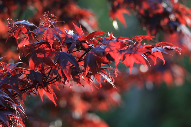 Autumn Leaf Plant Part Red Change Plant Beauty In Nature No People Selective Focus Nature Growth Focus On Foreground Close-up Maple Leaf Tree Branch Day Maple Tree Outdoors Orange Color Leaves Natural Condition