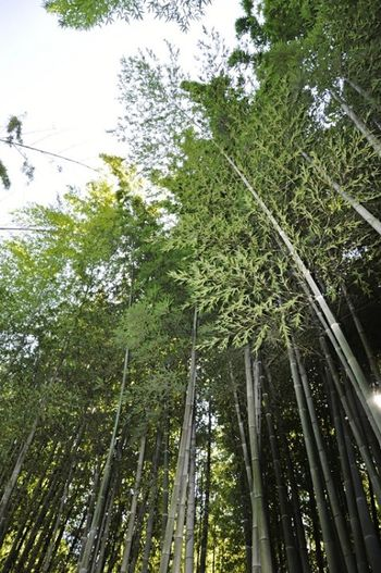 Tree Growth Nature Green Color Forest Beauty In Nature Bamboo - Plant Bamboo Tree Landscape Bamboo Forest Banboo Beauty In Nature Anduze France EyeEmNewHere Scenics Outdoors Plant Nature Green Color Tree