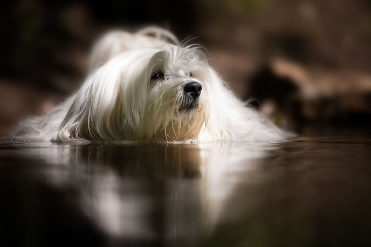 Animal Themes Close-up Day Dog Domestic Animals Looking At Camera Mammal Nature No People One Animal Outdoors Pets Portrait Selective Focus Water West Highland White Terrier
