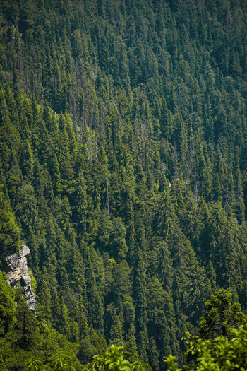 Asia's most dense forest -green valley in kufri ,shimla, india .