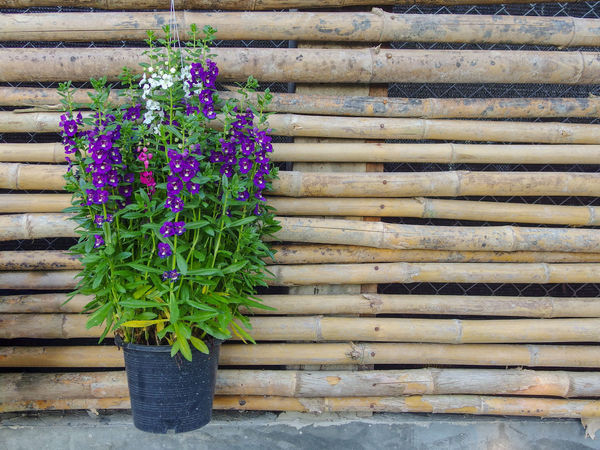flower pot decor on bamboo wall Plant Flower Flowering Plant Purple Freshness No People Wood - Material Day Nature Potted Plant Growth Vulnerability  Fragility Green Color Wall - Building Feature Beauty In Nature Close-up Pattern Outdoors Leaf Flower Pot Copy Space Bamboo Wall Flora