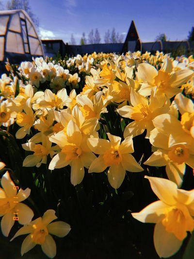 나르시서스 Beautiful Sun Yellow Нарцисс Memoris Summer Russia Flower 나르시서스