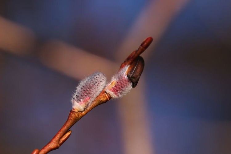 Close-up of pussy willow growing outdoors